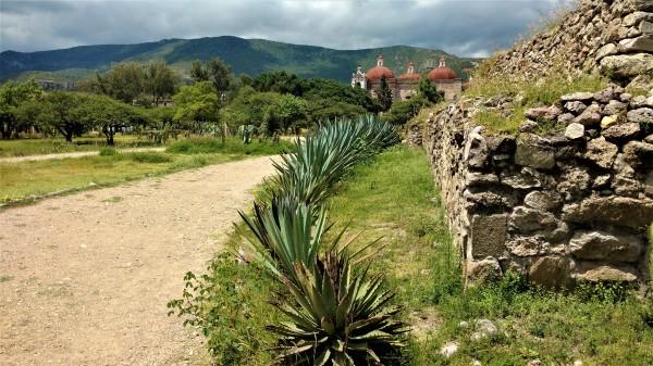 Agaves en la cuenca de Oaxaca